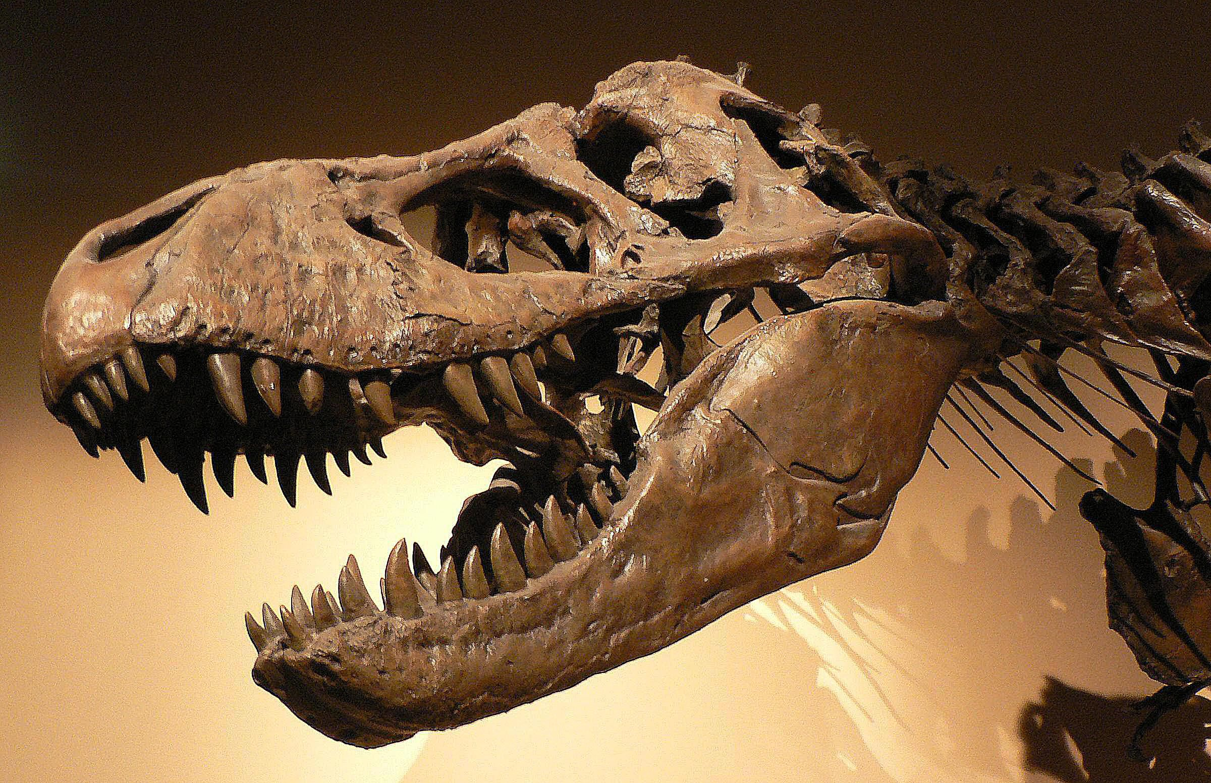 Close-up of the skull of a <I>Tyrannosaurus rex</I> from the late Cretaceous period