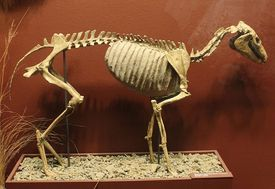 Mesohippus skeleton