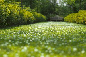 White clover (Trifolium) spreading through a grass avenue.