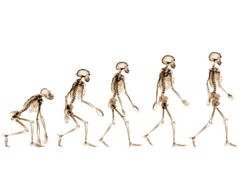 X-rays showing stages of human evolution (B&W, negative)
