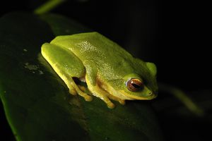 Most beautiful green bush frog