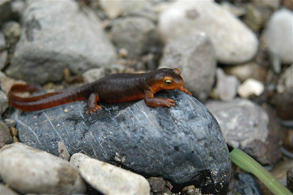 California newt sitting on a rock.