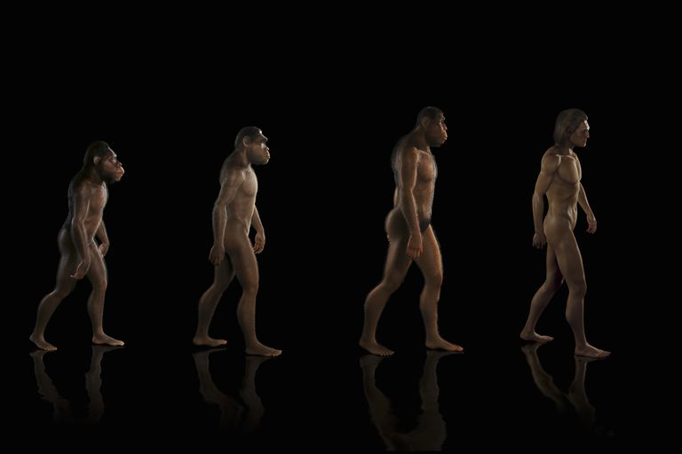 Diagram showing four stages of human evolution.