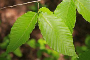 american beech tree leaves
