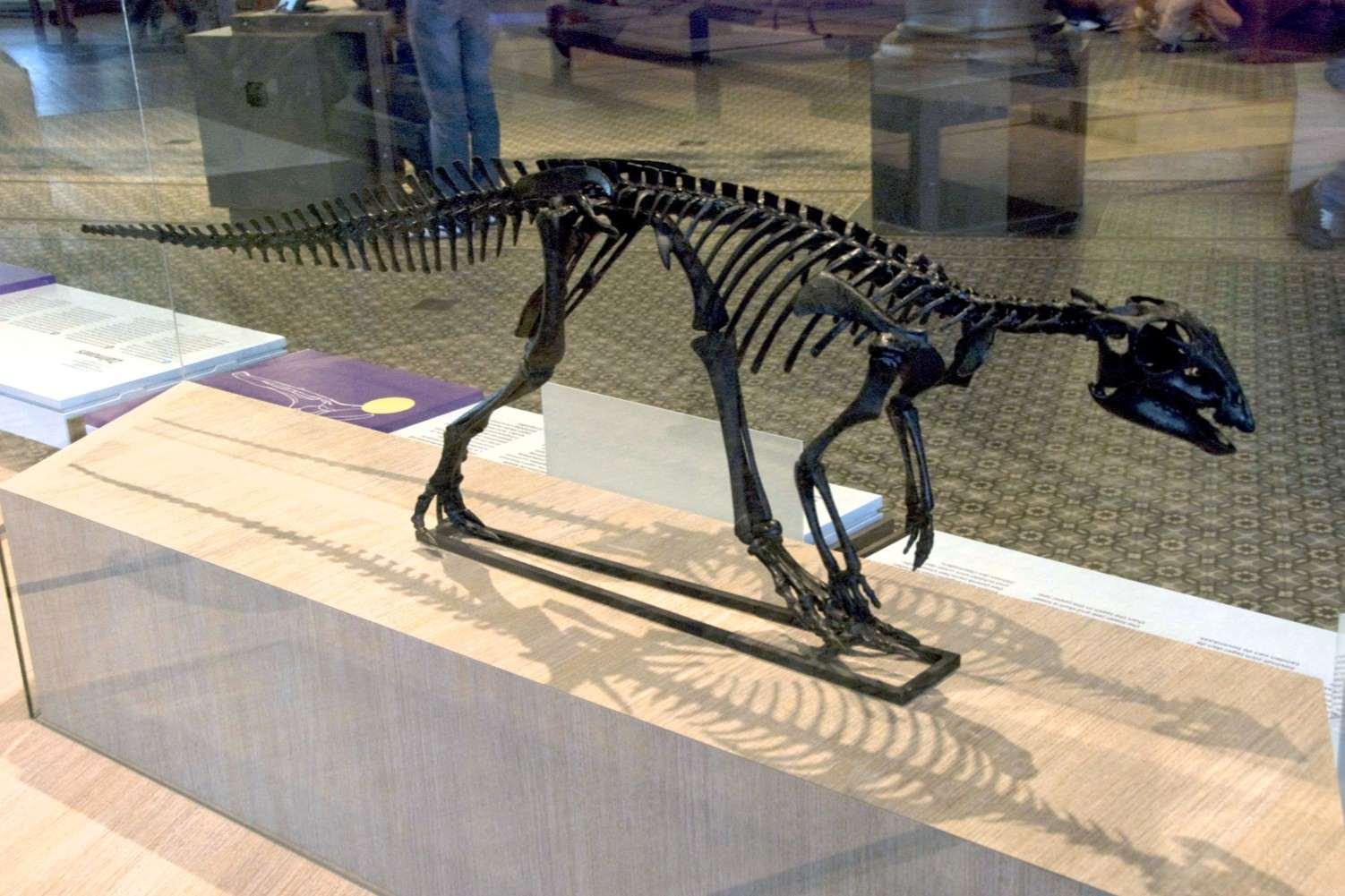 Réplica montada de un esqueleto de hypsilophodon en el Instituto de Ciencias de Bruselas