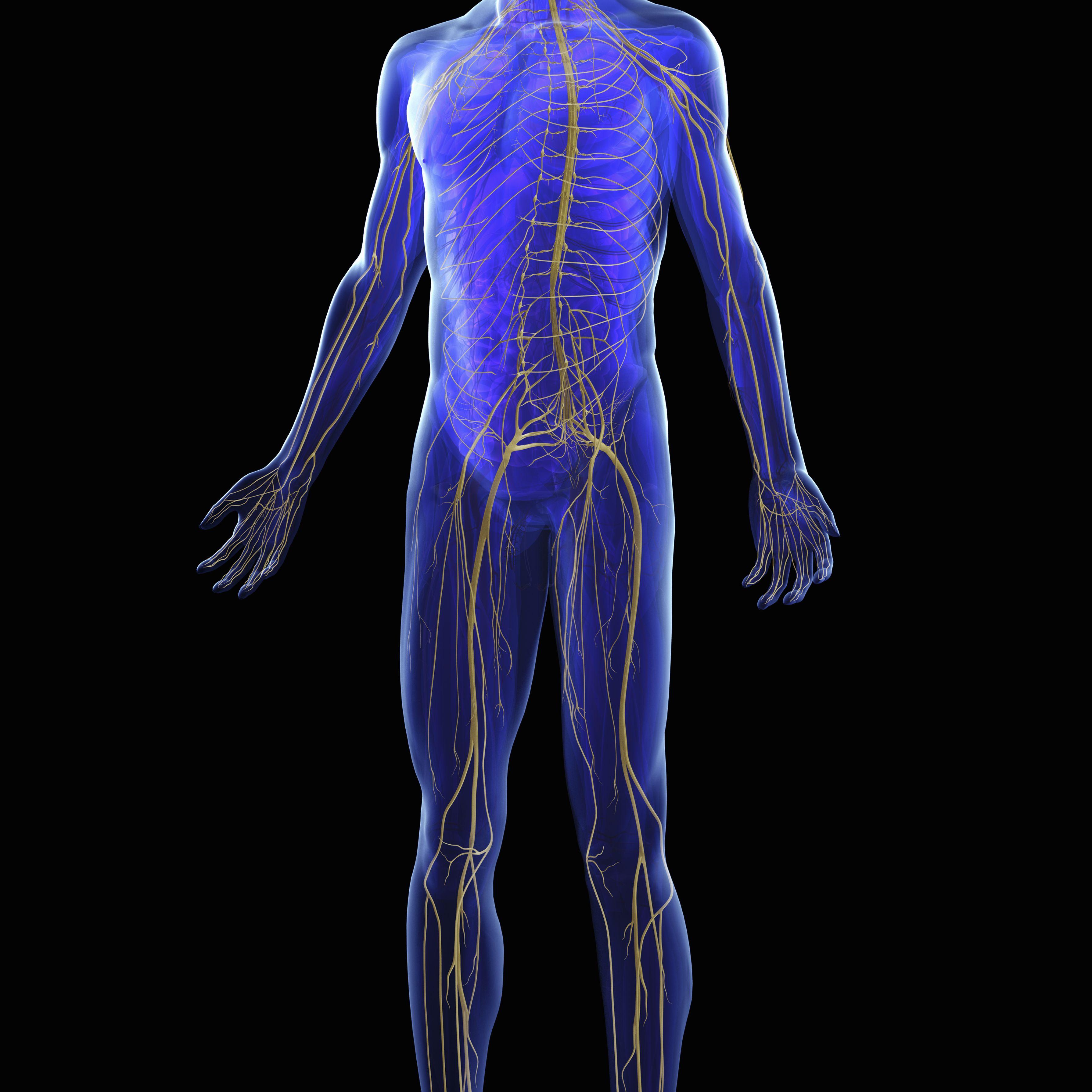 3D illustration of the human nervous system