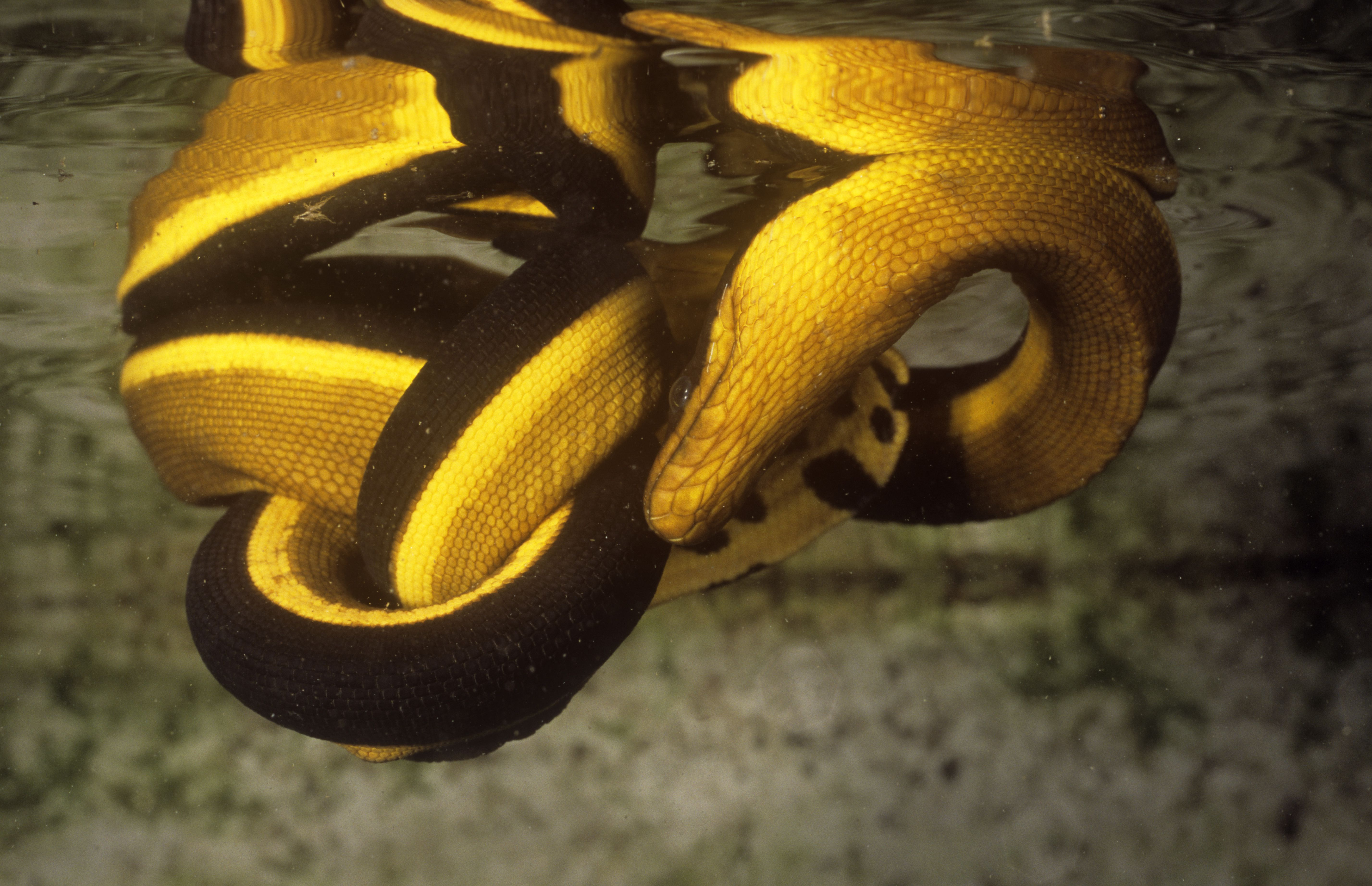 The so-called California sea snake is actually the yellow-bellied sea snake.