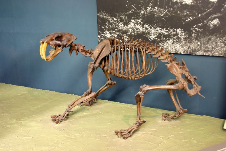 The skeleton of a saber-toothed tiger, also known as smilodon