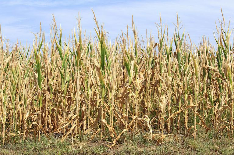 Drought corn crop in Illinois