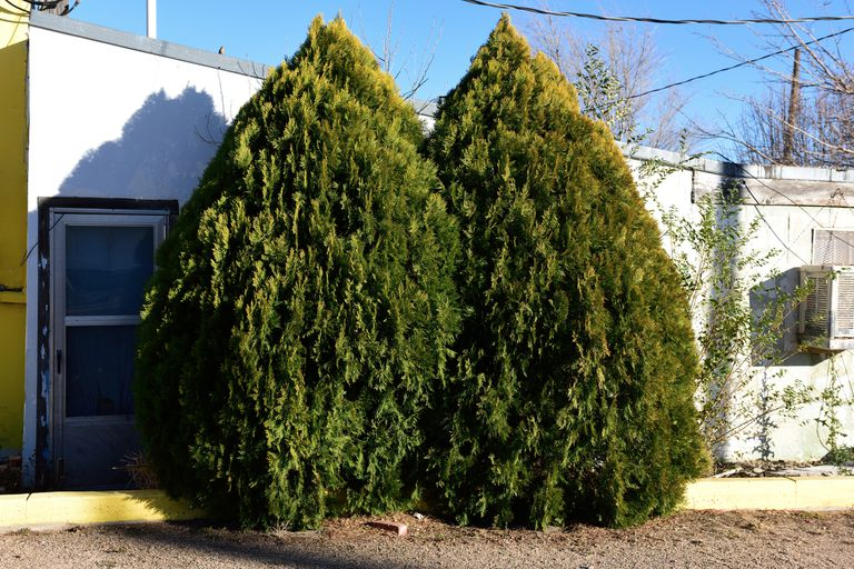 Leyland cypress trees growing outside a home