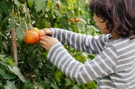 child picking tomatoes