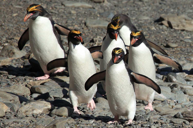 Macaroni Penguins on a rocky beach