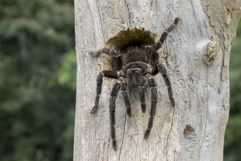 Brazilian Salmon Pink Bird Eating Tarantula Spider (Lasiodora parahybana) Coming out of Bird Nest