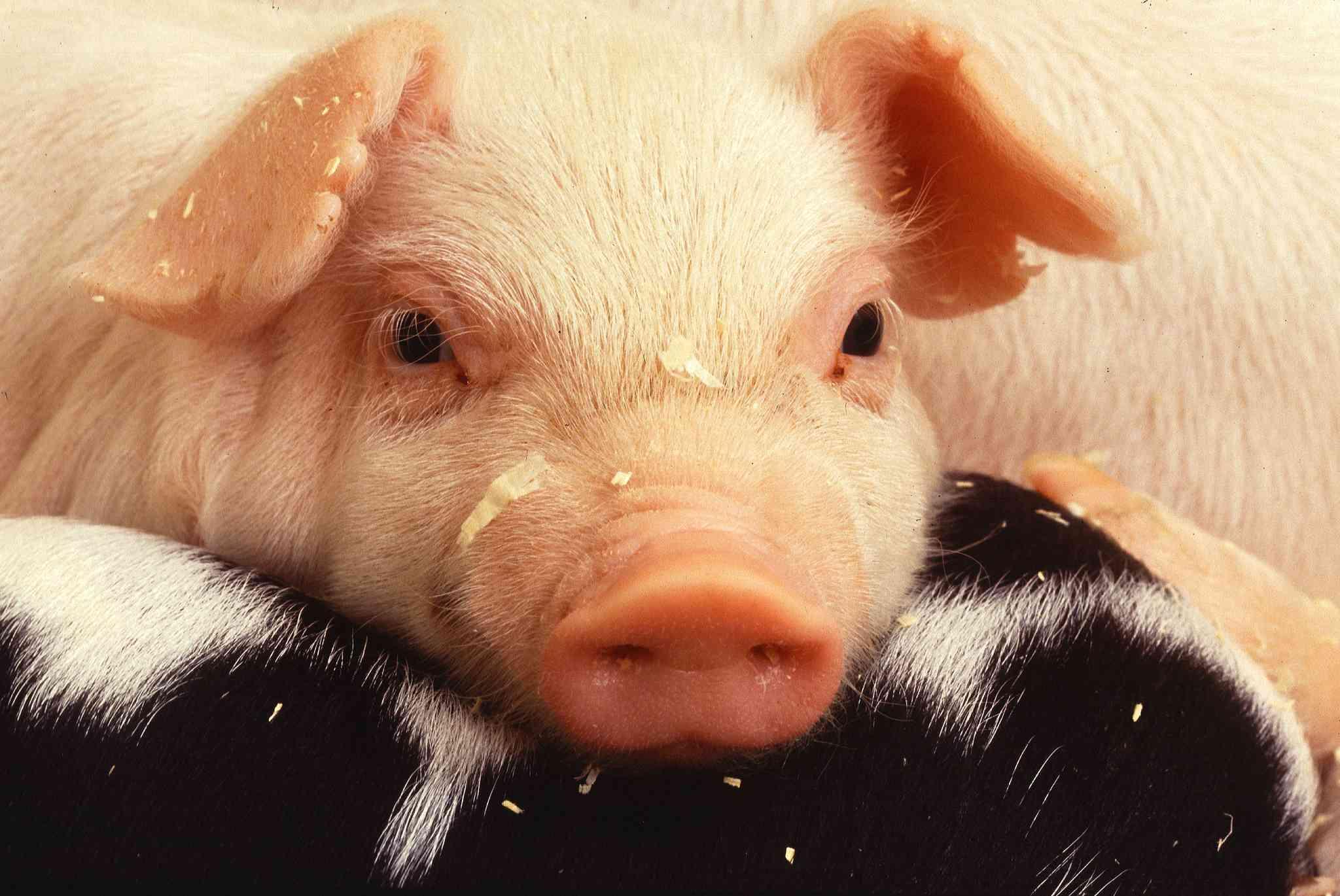глицирризиновой картинки плачущей свинки тем как