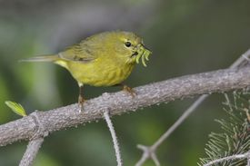 Warbler eating insects