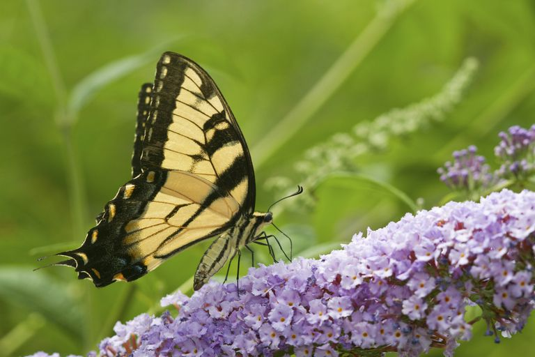 Butterfly Bush Alternatives For Environmentally Friendly Gardeners