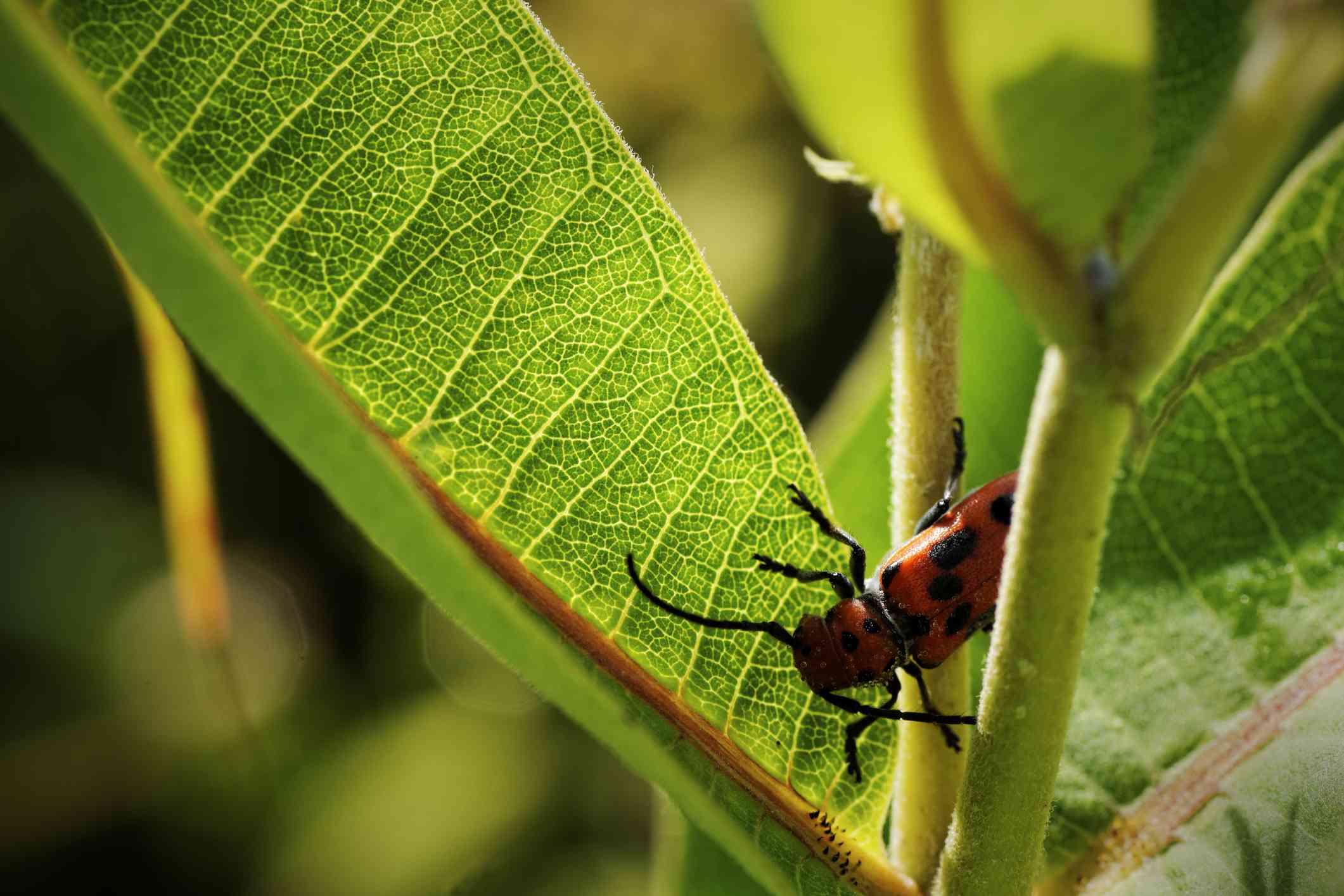 Red beetle standing on milkweed, Indiana, USA