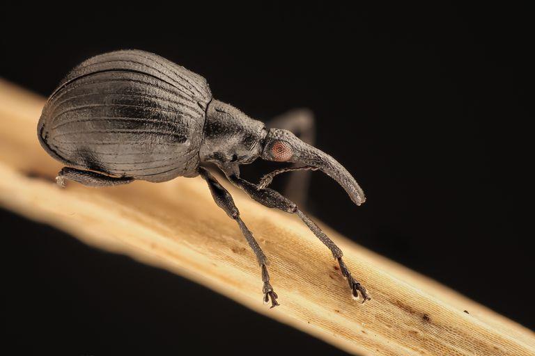 Weevil.