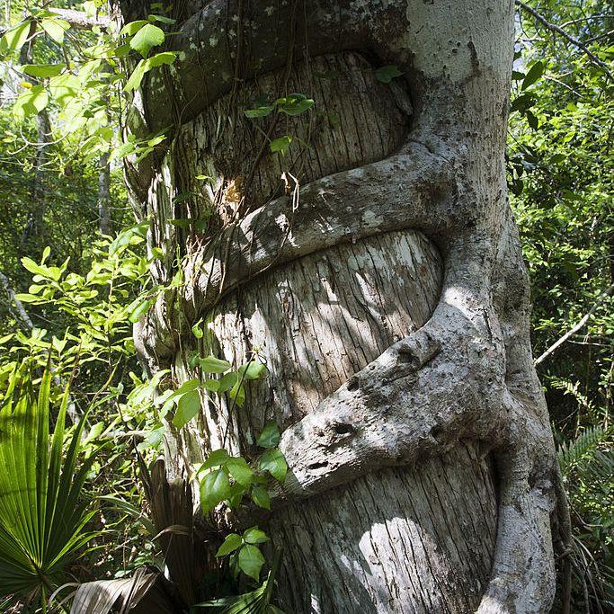 6aecd3098cf Strangler Fig - South Florida s Strange Hammock Tree