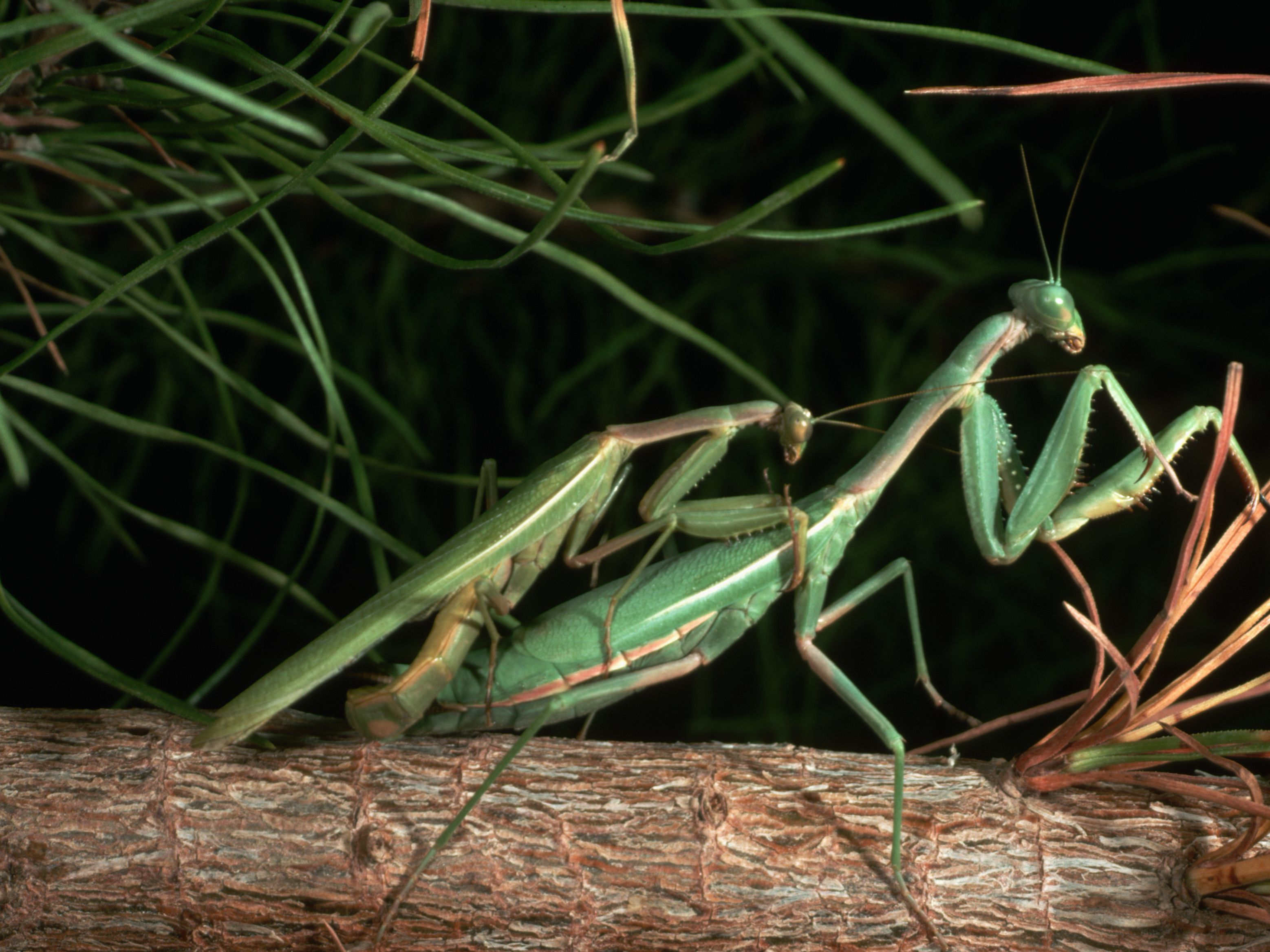Praying Mantis Mating And Cannibalism