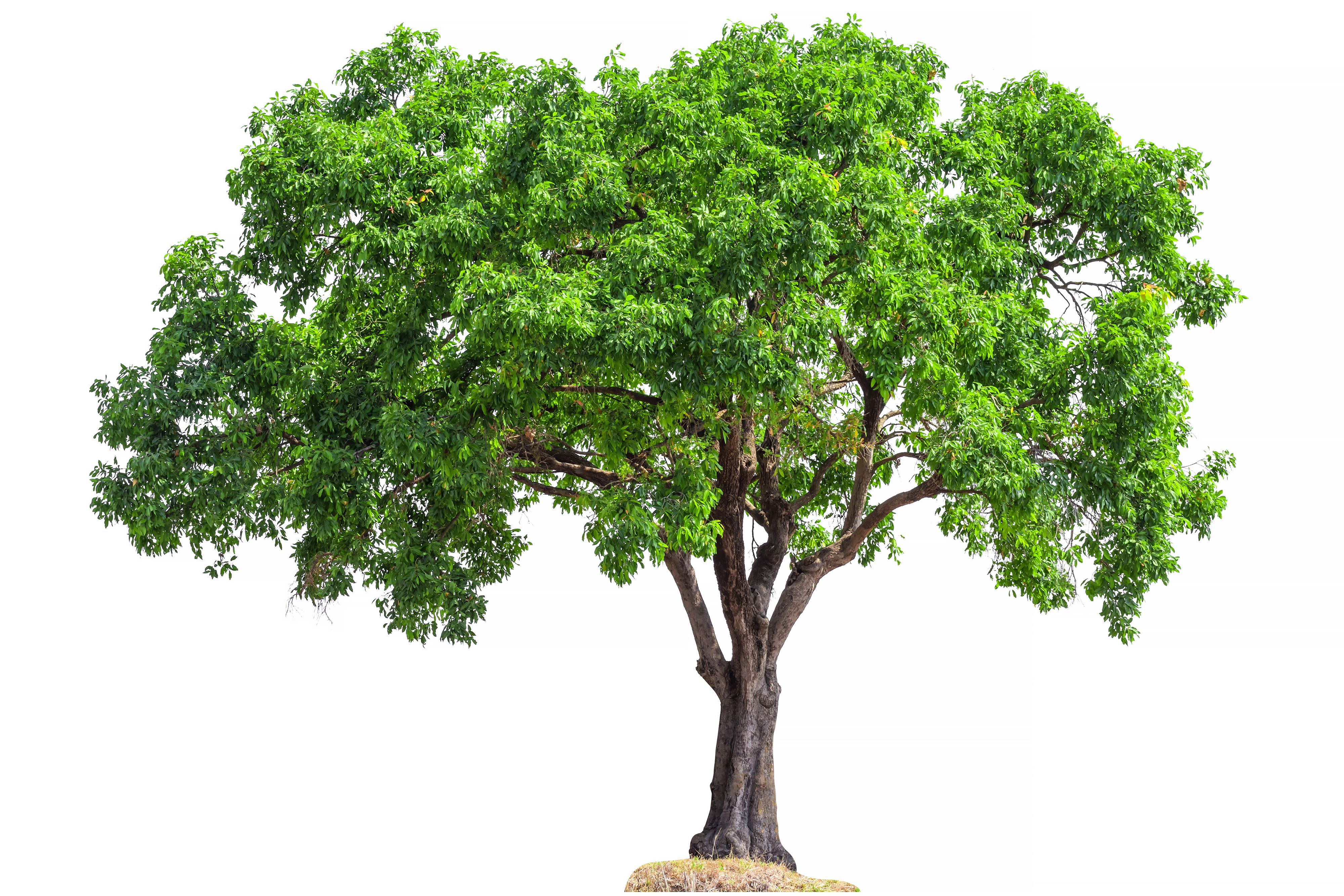Tree Leaf Chart: Shape, Margin, and Venation