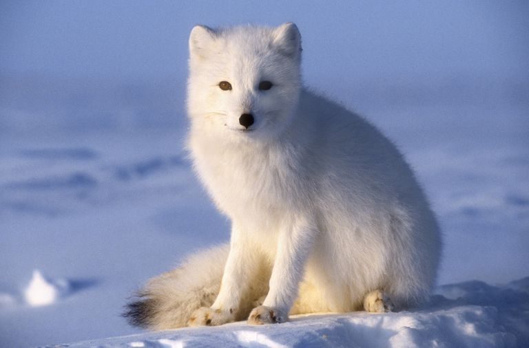 In the winter, arctic foxes have white or blue coats, depending on where they live.
