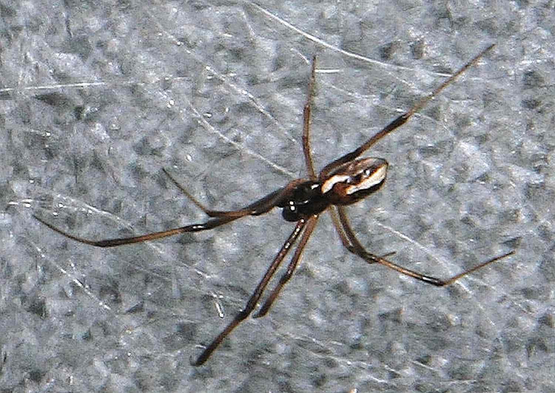 Male redback spider