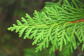 arborvitae tree