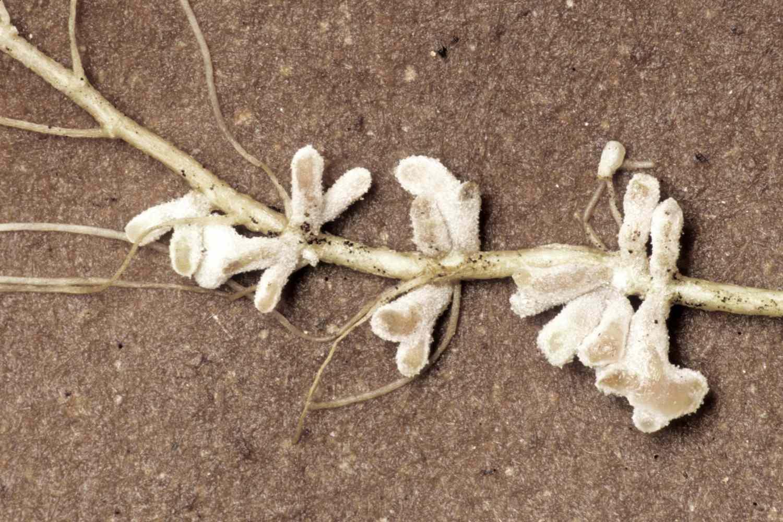 Root Nodules and Rhizobium Bacteria