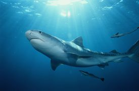 Tiger shark (Galeocerdo cuvier), seen from under sunny waters