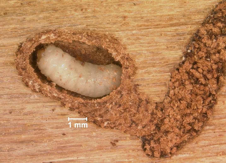 Ips beetle larva
