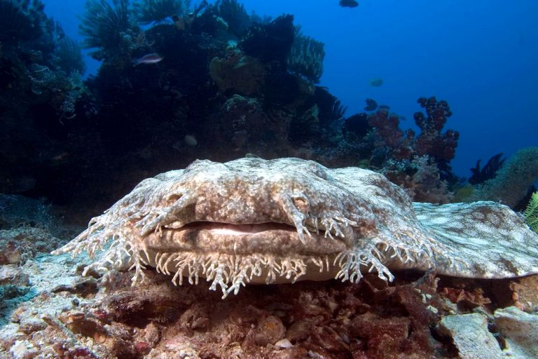 Tasselled wobbegong (eucrossorhinus dasypogon) sitting on a rock on the ocean floor, Indonesia