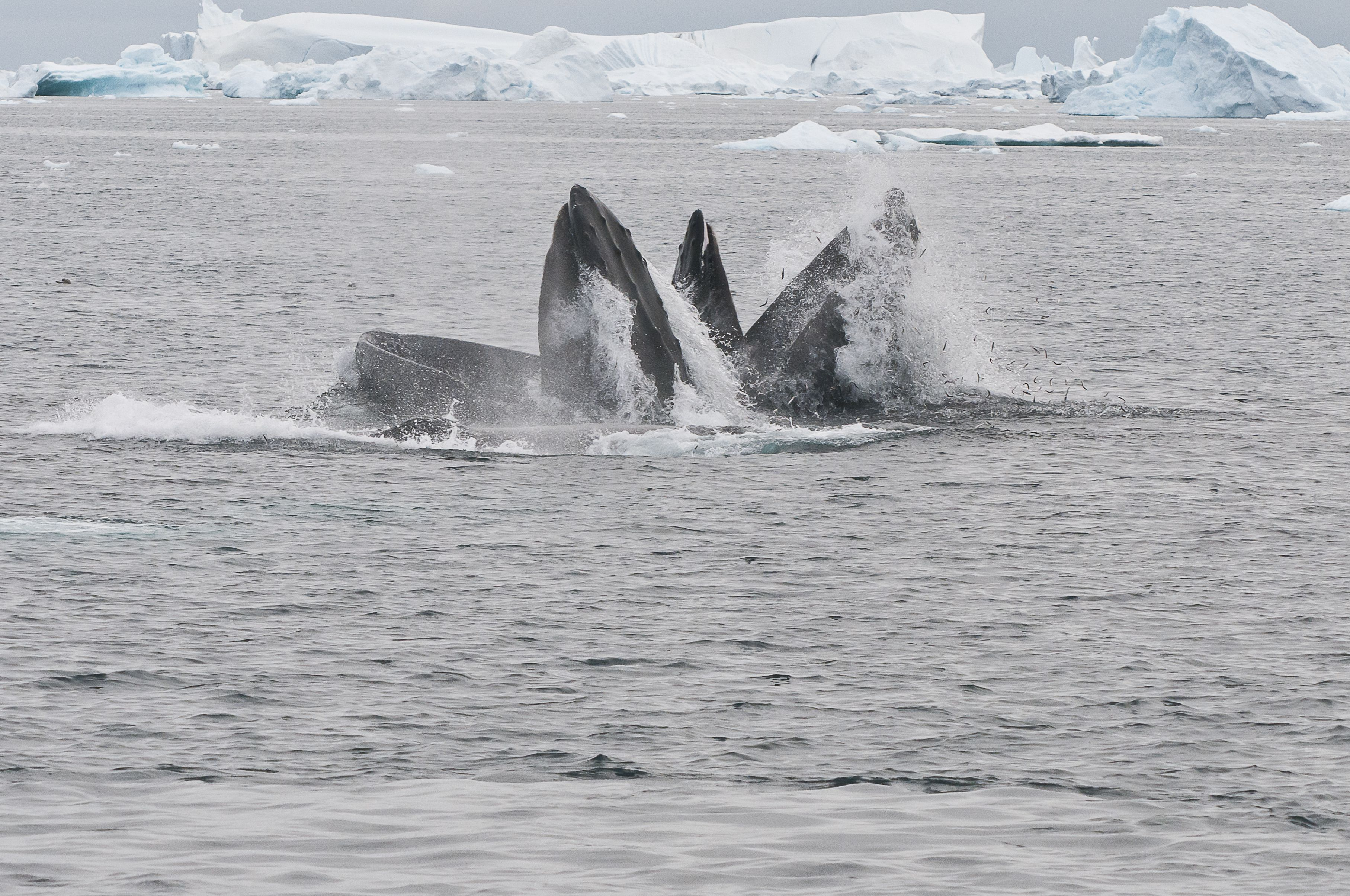 Humpback whales swim up through the middle of a bubble net to feed.