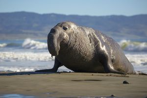 A northern bull (male) elephant seal makes his way ashore in Point Reyes National Seashore, California.