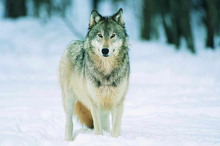 Portrait of a Wolf Standing in Snow