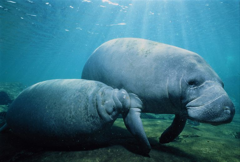Manatee calf nursing on mother manatee underwater