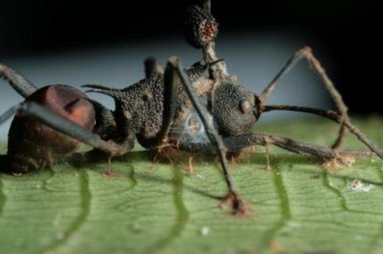 Zombie Ant Fungus