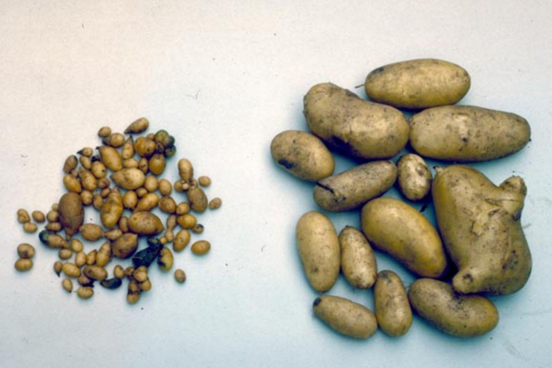 Potato Spindle Tuber Viroid