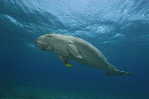 Dugong / Borut Furlan / WaterFrame / Getty Images