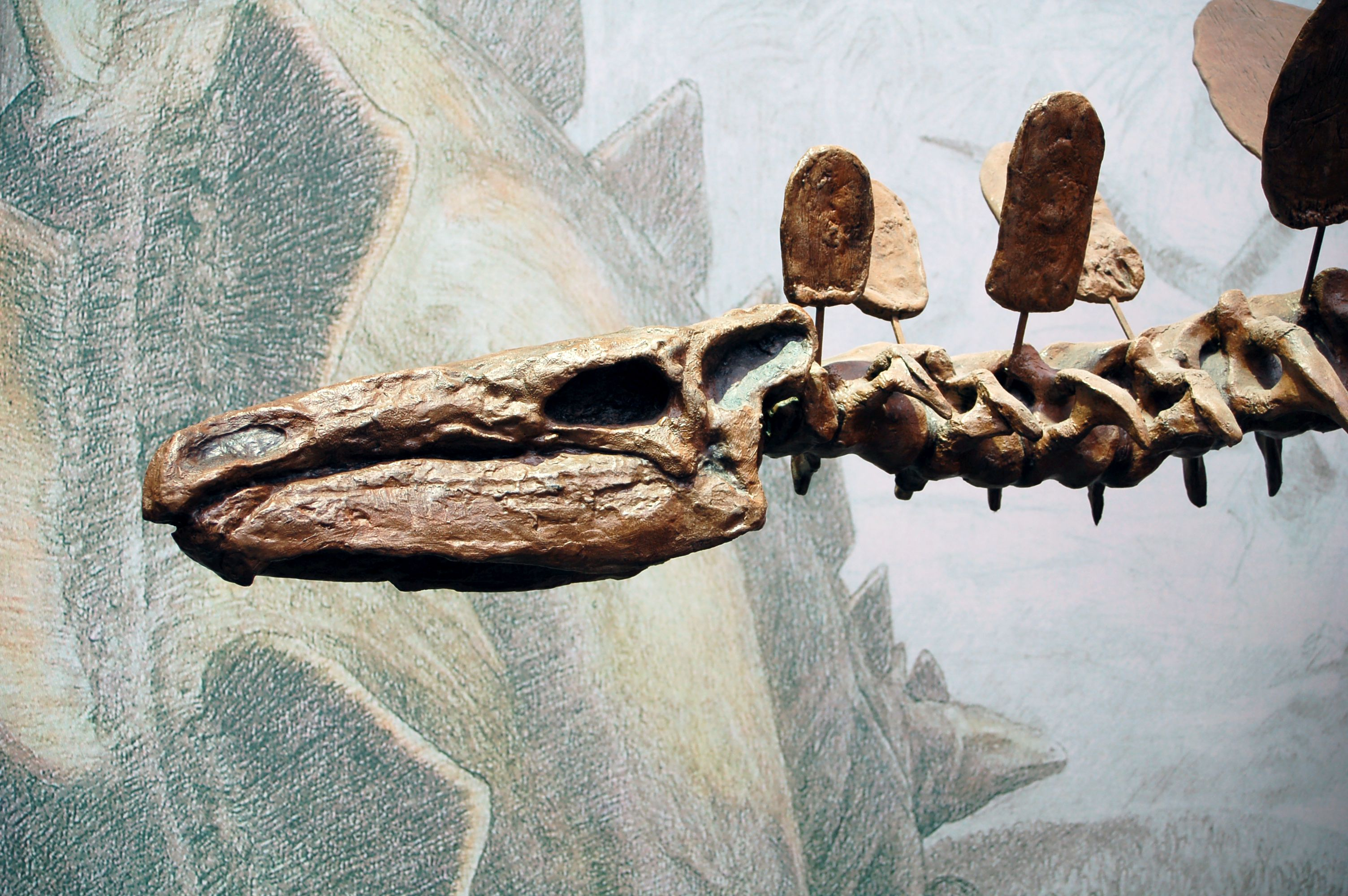 A sideview of the skeleton of a <i>Stegosaurus</i>, shows the skull with limited space for a brain, plus a spine with numerous fanlike plates
