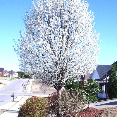 why you want the chanticleer callery pear tree on your property