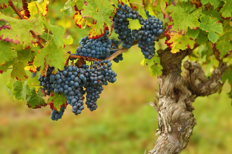 France Grapes Ready For Harvest