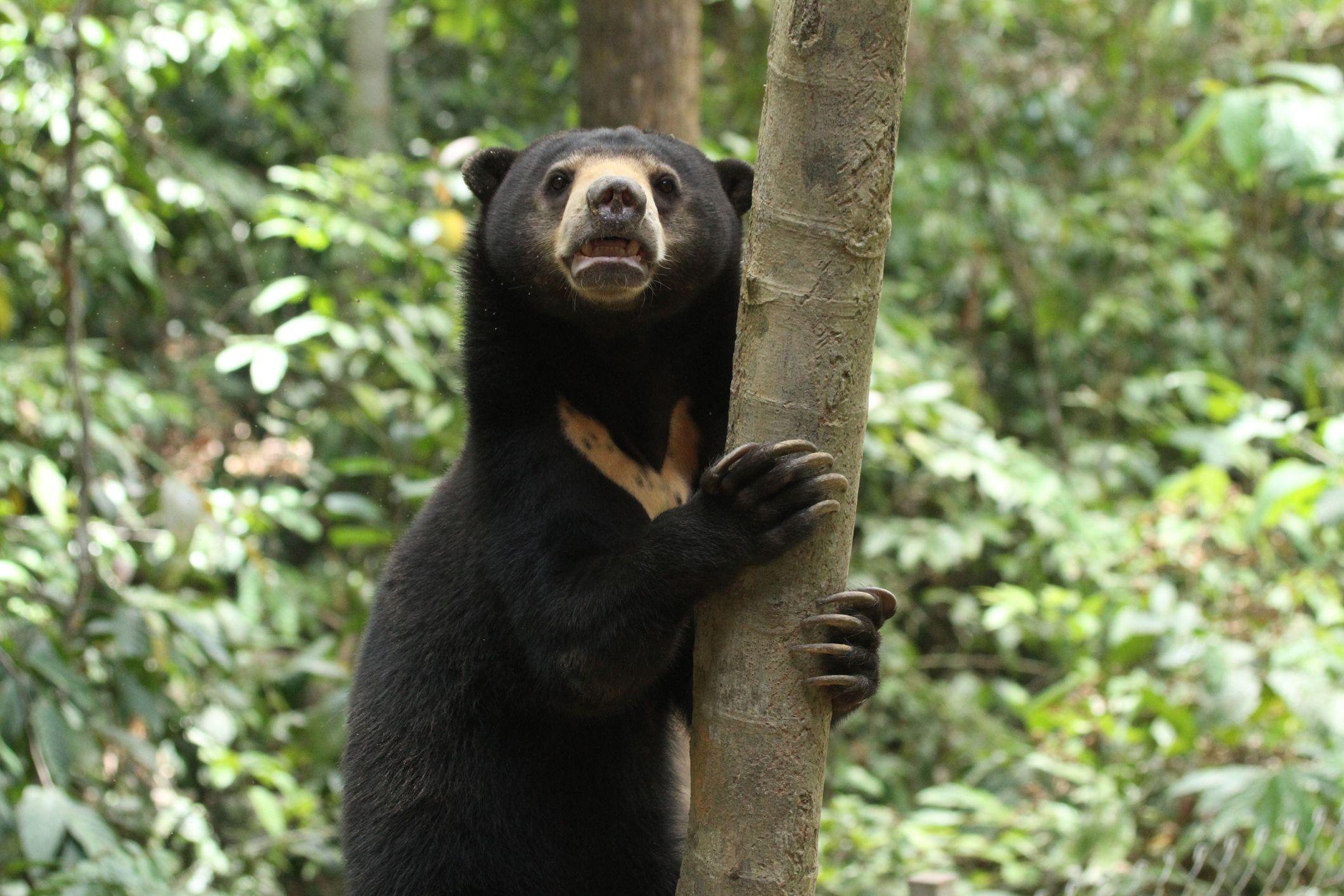 sun bear facts  helarctos malayanus