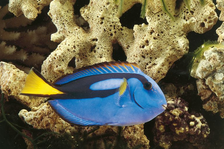 Regal tang in an aquarium