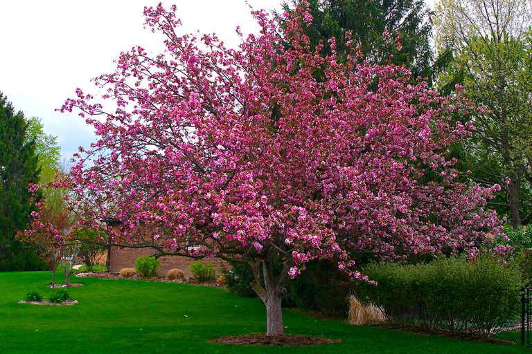 Top 10 trees for planting in a small yard crabapple mightylinksfo