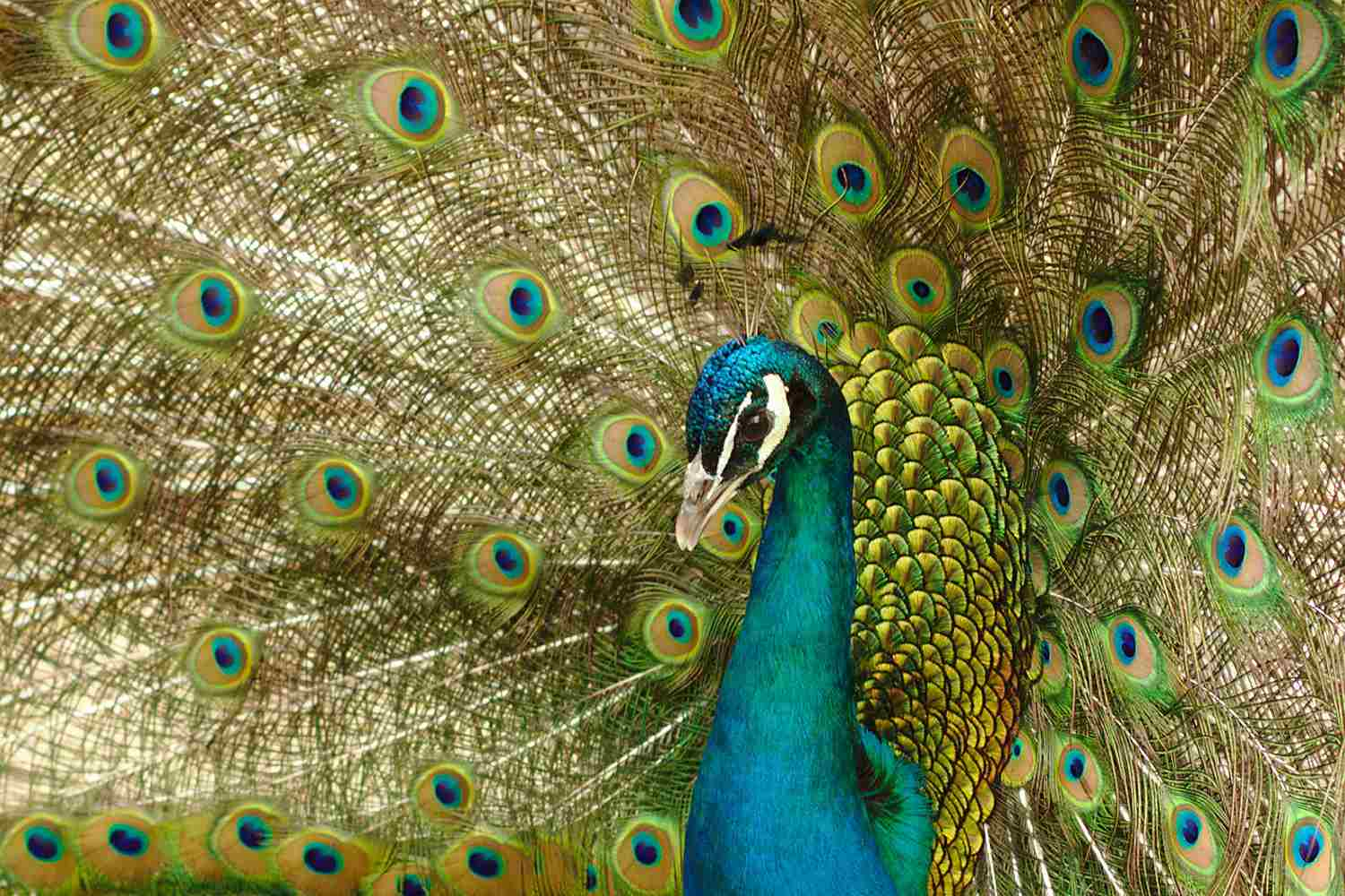 Closeup of peacock with tail feathers on display