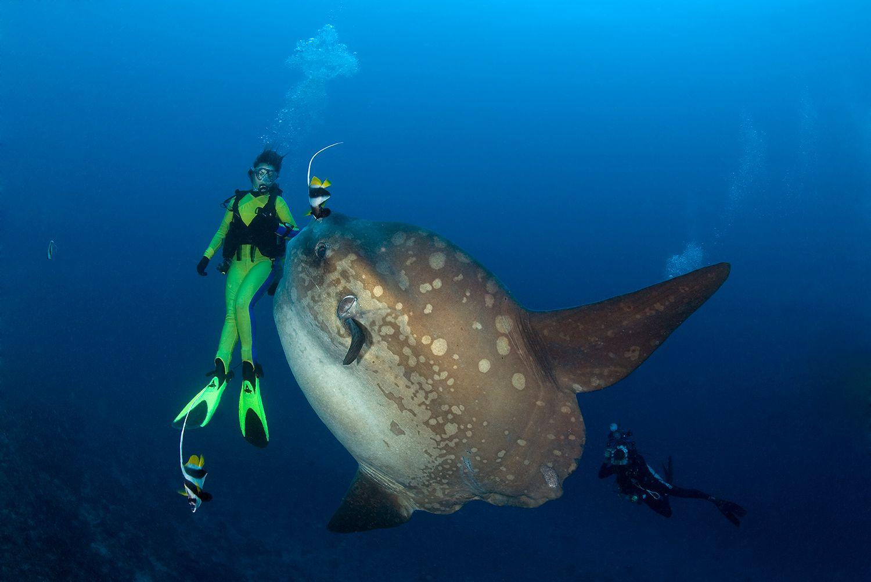 Ocean Sunfish and Diver, Mola Mola, Bali Island, Indo-Pazific, Indonesia