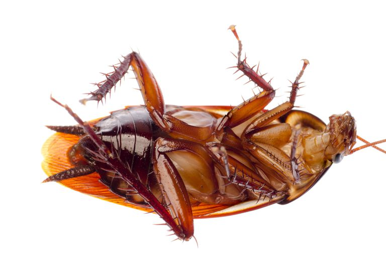 A cockroach on its back