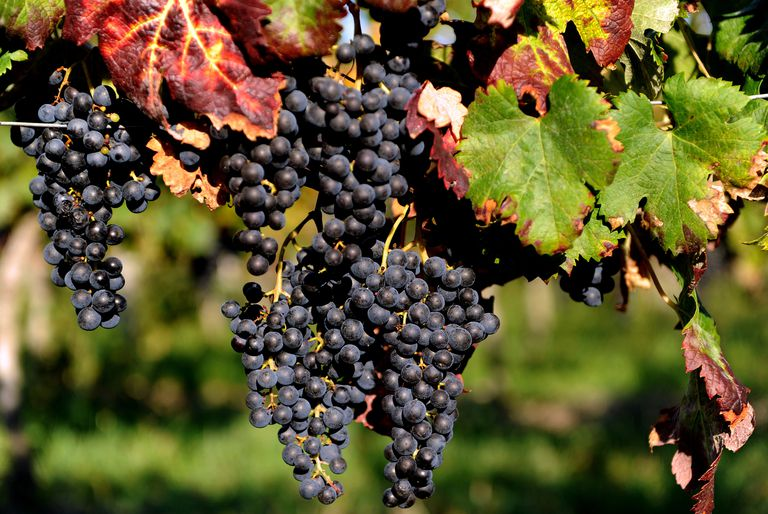 Wine Harvest At Chateau Fontcaille Bellevue