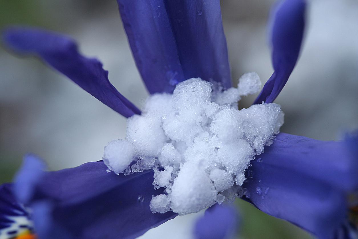 graupel στο λουλούδι